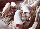 export-carne-porc