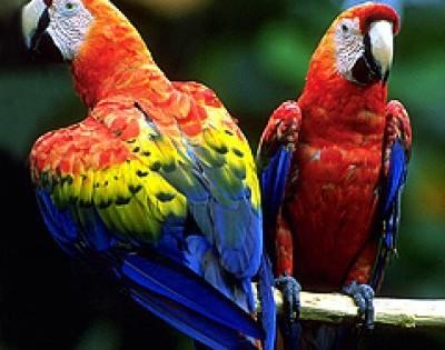 papagal-ara