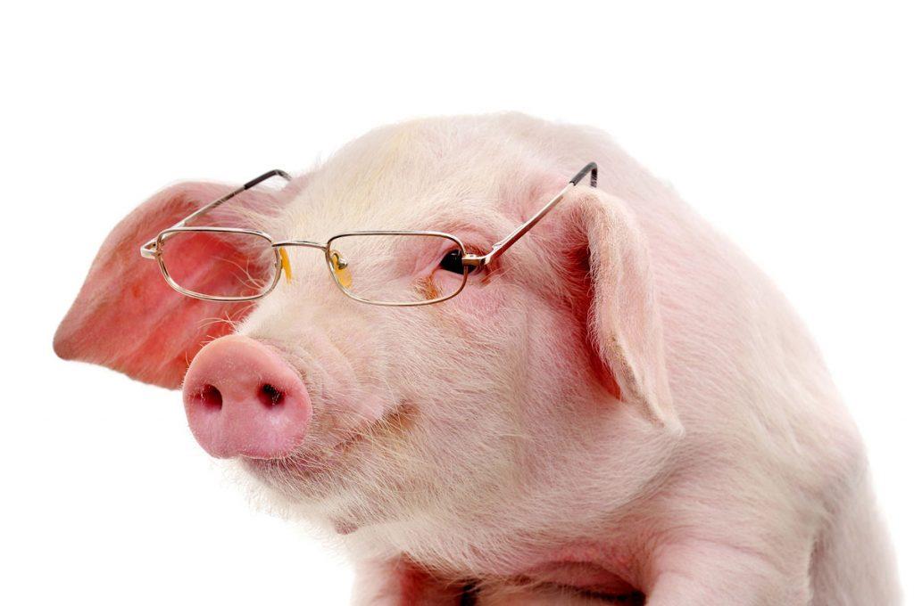 porc-cu-ochelari