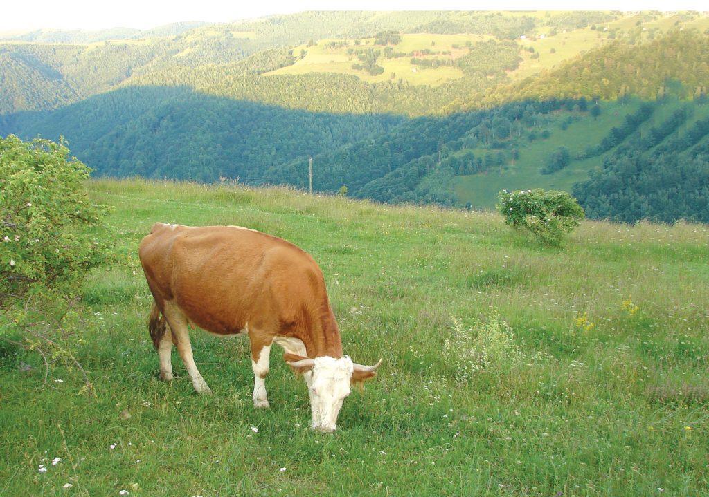 ferma-munte-baltata-romaneasca