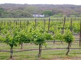 viile_vinurile