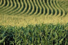 productie cereale