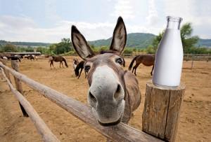 lapte-scump-introduce-magarul-pe-usa-din-fata-a-zootehniei