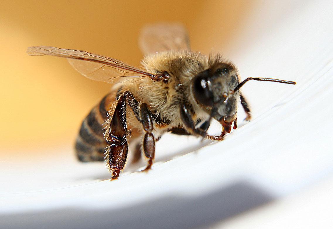 Veninul de albine, super-medicament natural - Efecte, compoziţie şi contraindicaţii - Exquis