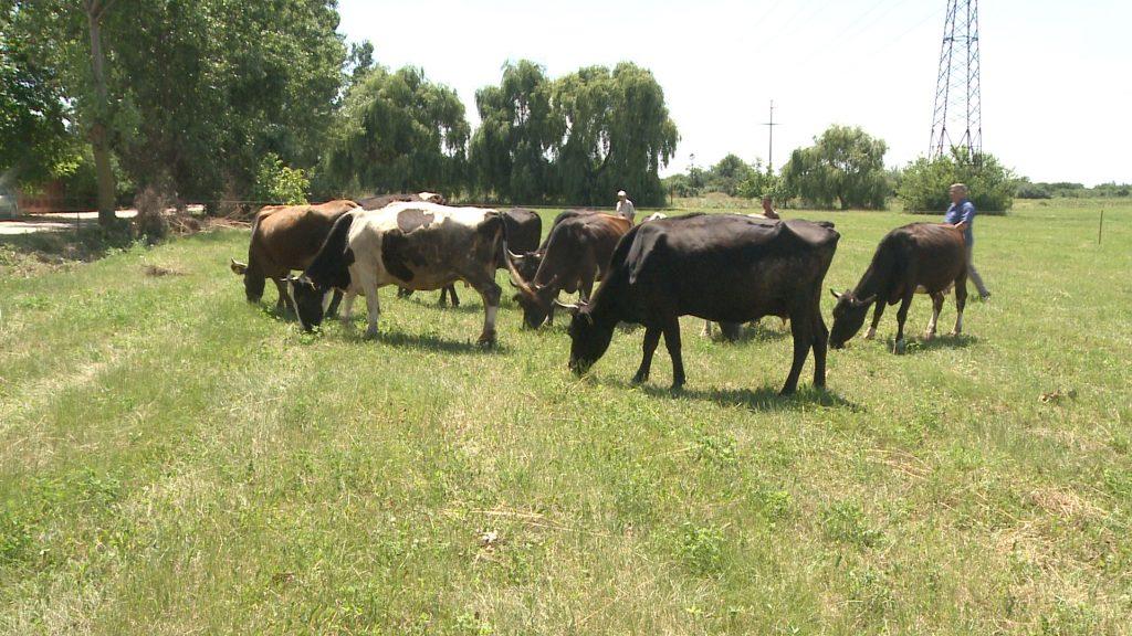 ferma-bovine-aurel-tanase